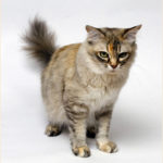 Asian Semi Longhair