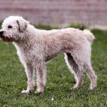 Dutch Smoushond – Facts, Characteristics, Temperament, Puppies, Breeders