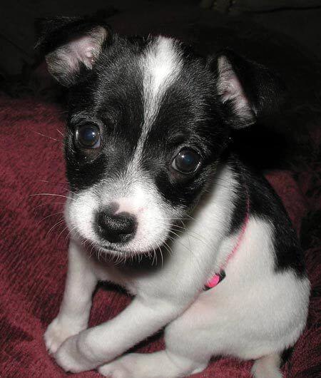 Taco Terrier